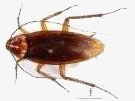 call a NY roach exterminator when you see this American Roach