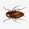 get rid of roaches like this Oriental Cockroach