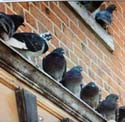 get rid of pigeons like this nyc-pigeon-control